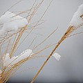 Winter Grasses Iv by Karen Lambert
