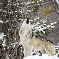 Winter Howl by Paul Danaher