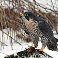 Winter Hunt Peregrine Falcon In The Snow by Inspired Nature Photography Fine Art Photography