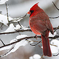 Winter In Red by Linda Shannon Morgan