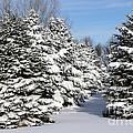 Winter In The Pines by Lori Tordsen