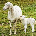 Winter Lamb And Ewe by Thomas R Fletcher