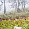 Winter Lamb Foggy Day by Thomas R Fletcher