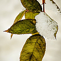 Winter Leaves And Snow by Julie Palencia
