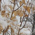 Winter Leaves by Kimberly Cohne