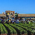 Winter Lettuce Harvest by Robert Bales