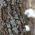 Winter Lichen by Elizabeth Sullivan