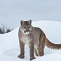 Winter Mountain Lion  by Sandra Bronstein