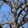 Winter Oak 2014 by Maria Urso