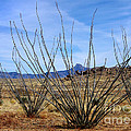 Winter Ocotillo Garden by Vicki Pelham