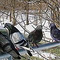 Winter Pigeon Party by Nina Silver
