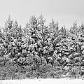 Winter Pine by Elaine Mikkelstrup