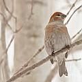 Winter Pine Grosbeak by Cheryl Baxter
