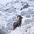 Winter Ram by Mike  Dawson