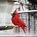 Winter Red Bird by Stacey Pollio