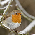 Winter Robin by Simon Gregory