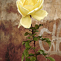 Winter Rose by RicardMN Photography
