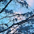 Winter Sky And Snowy Japanese Maple by Allan Morrison