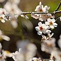Winter Spring Almond Flowers by Guido Montanes Castillo
