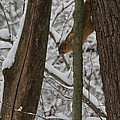 Winter Squirrel by Dan Sproul