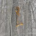 Winter Squirrel by Erick Schmidt