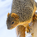 Winter Squirrel by LeeAnn McLaneGoetz McLaneGoetzStudioLLCcom