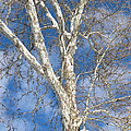 Winter Sycamore by Ann Horn