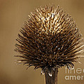 Winter Thistle by Inge Riis McDonald