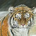 Winter Tiger by Yan Tomazin