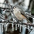 Winter Titmouse by Lara Ellis