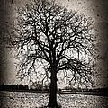 Winter Tree by Elena Elisseeva