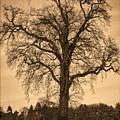 Winter Tree - Old by Nick Field
