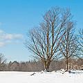 Winter Trees by Cheryl Baxter