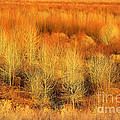 Winter Trees Color  7 by Roena King