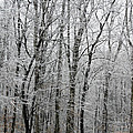 Winter Trees by Guy Shultz
