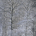 Winter Trees by Sharon Talson
