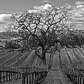 Winter Vineyard by Bill Dodsworth