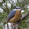 Winter Visitor - Red Breasted Nuthatch by John Vose