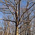 Winter White Oak by Joshua Bales