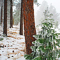 Winter Woodland Pine Tree by Julie Magers Soulen