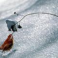 Winter Wren by Skip Willits