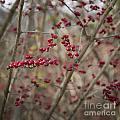 Winterberries Squared by Teresa Mucha