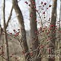 Winterberries by Teresa Mucha