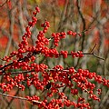 Winterberry by Living Color Photography Lorraine Lynch