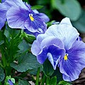 Winter's Blue Pansies by Maria Urso