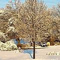 Winters Bradford Pear by Candy Frangella