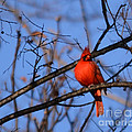 Winter's Red Beauty 5 by Barb Dalton