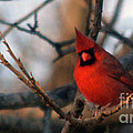 Northern Cardinal Red Beauty  by Barb Dalton