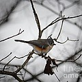 Winter's Tufted Titmouse by Maria Urso