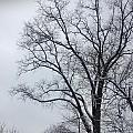 Wintry Tree by Hannah Rose